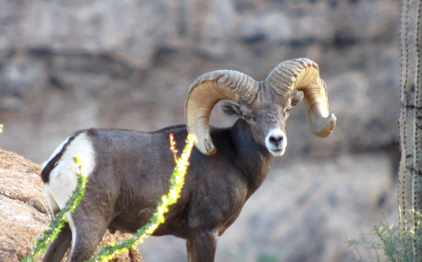 Head on look from a bighorn ram