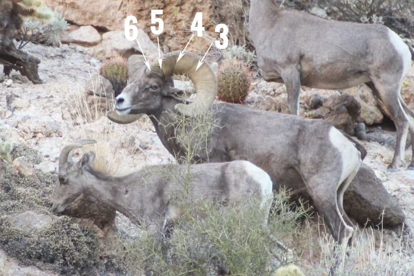 8 year old bighorn sheep ram with marked annuli rings.
